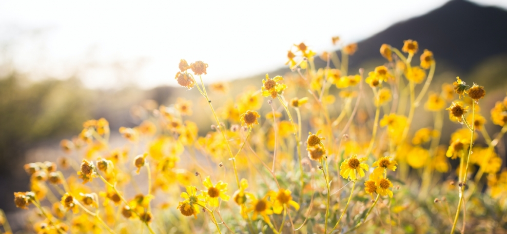 close up of group of yellow flowers with mountain in the background