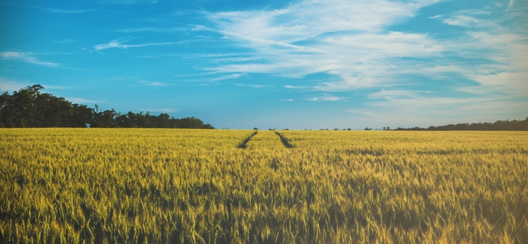 yellow wheat field with blue sky and clouds