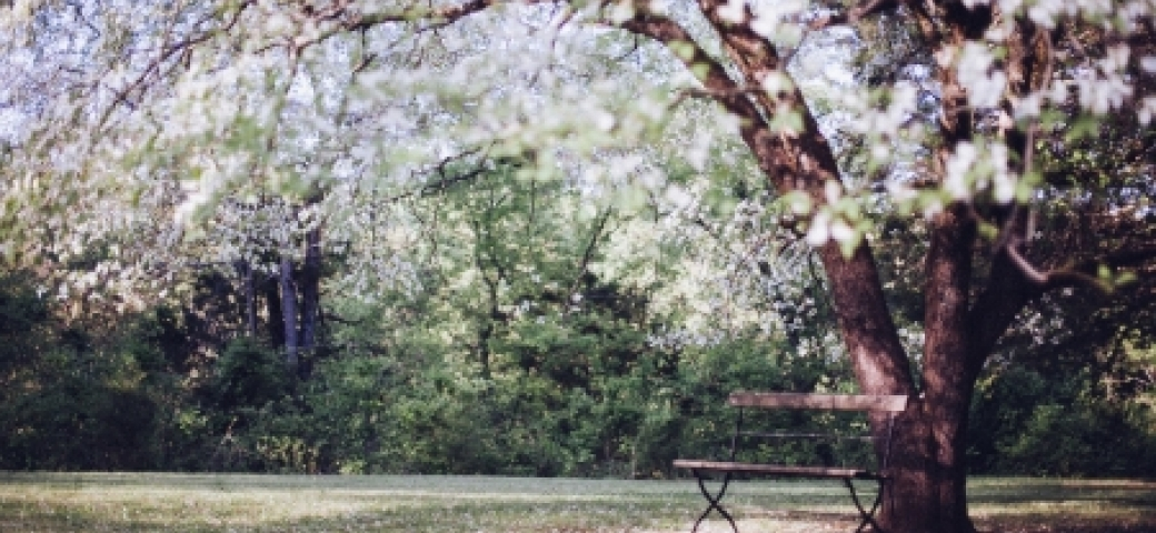 tree with white flowers and empty bench beneath