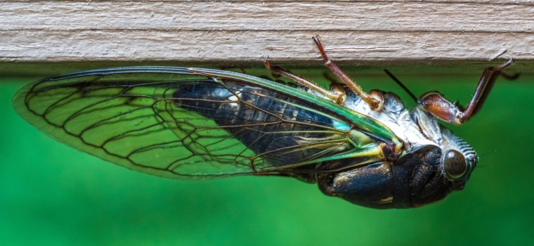 close up of cicada with transparent shining wings tinted green, body blue, eye looking straight at camera. Cicada is shown upside down clinging to piece of wood.