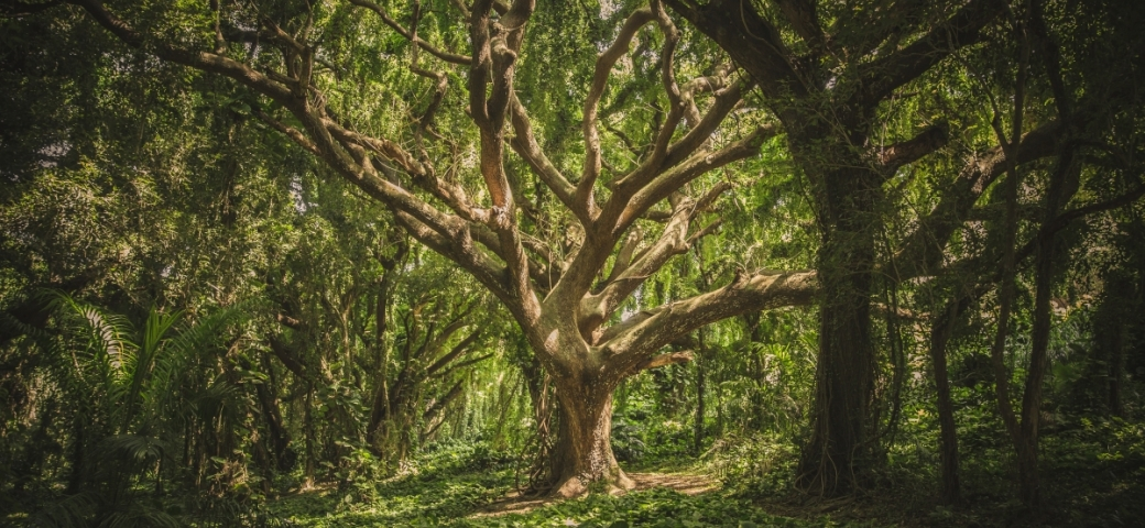 thick, multi-limbed tree lit up by sunlight in forest