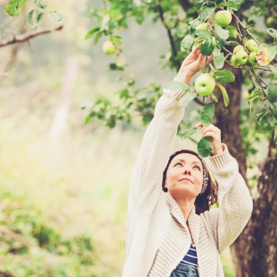 woman picking apples from a tree