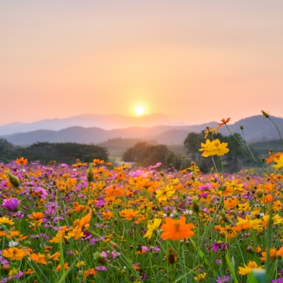 colorful field of flowers with sunrise