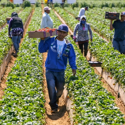 group of brown-skinned laborers working in a strawberry field