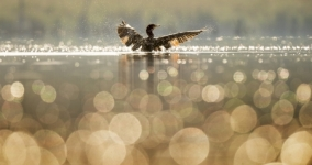 bird with wings spread in water